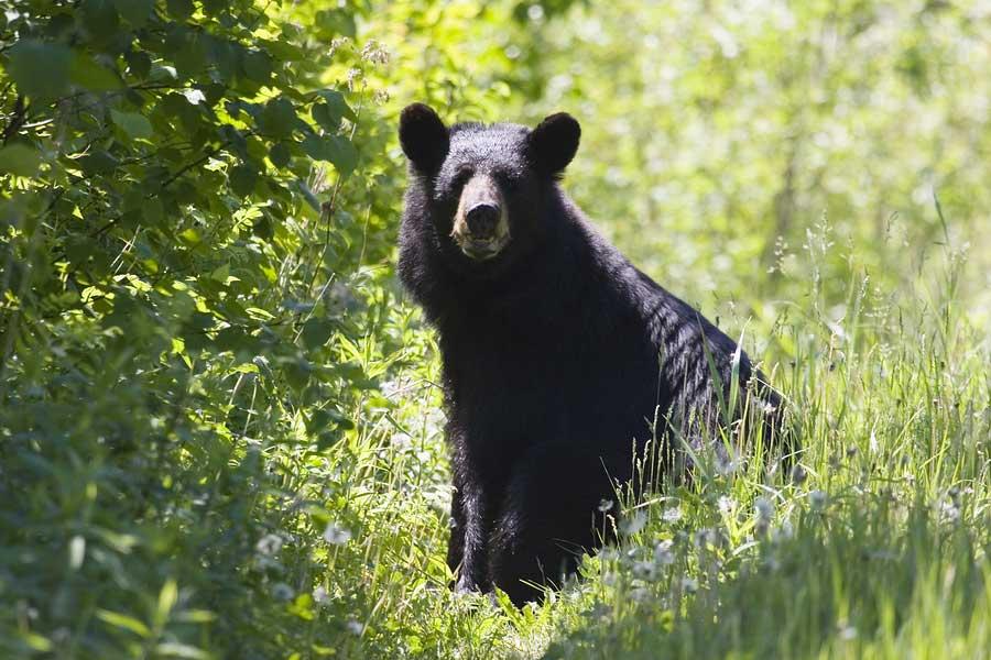 Black-Bears-Drones