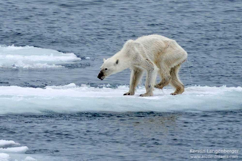 Starving-polar-bear