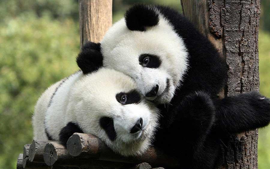 Panda-endangered-species