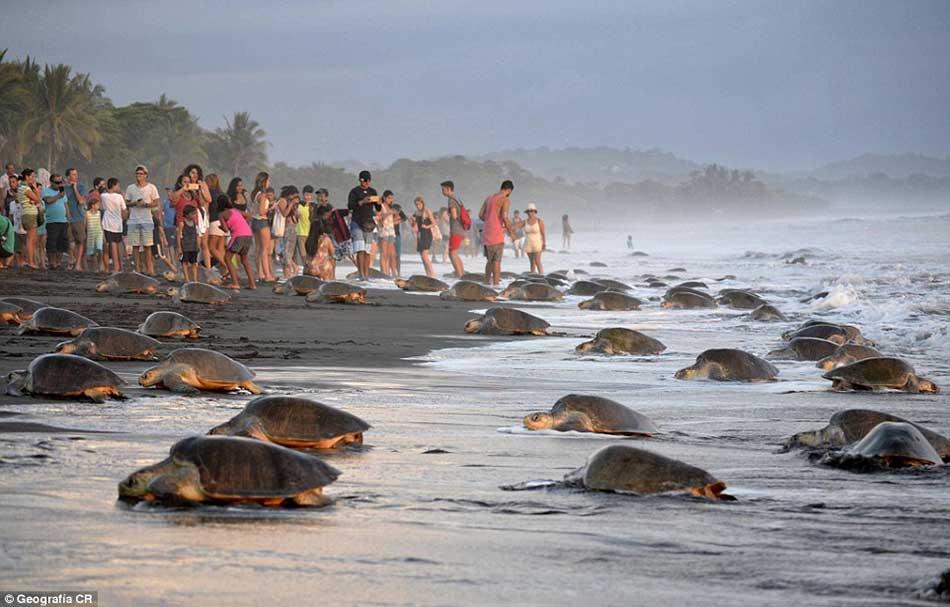 Sea-urtle-nesting-costa-rica