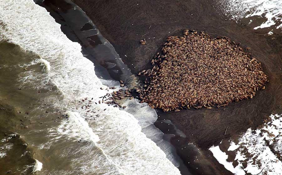 walrus-headless-alaska