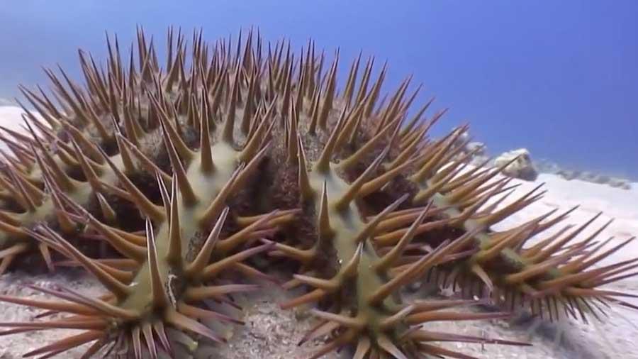 Reef-eating-starfish-vinegar