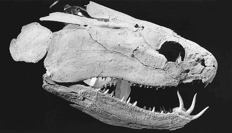 tooth-enamel-Psarolepis