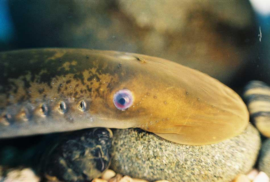 sea_lamprey_population-decline