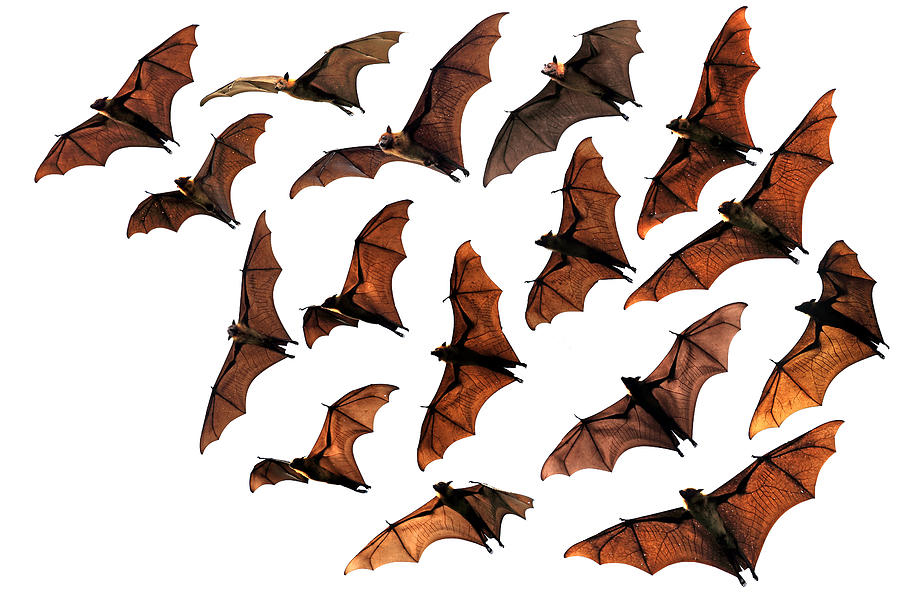 scientists discovered the color of 49 million year old bats - Bat Picture To Color