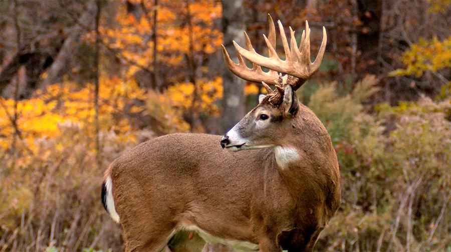 Blue-Tongue-disease-has-hilled-hundreds-of-deer