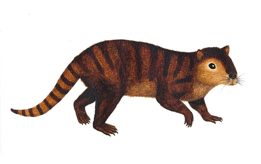 Kimbetopsalis-simmonsae