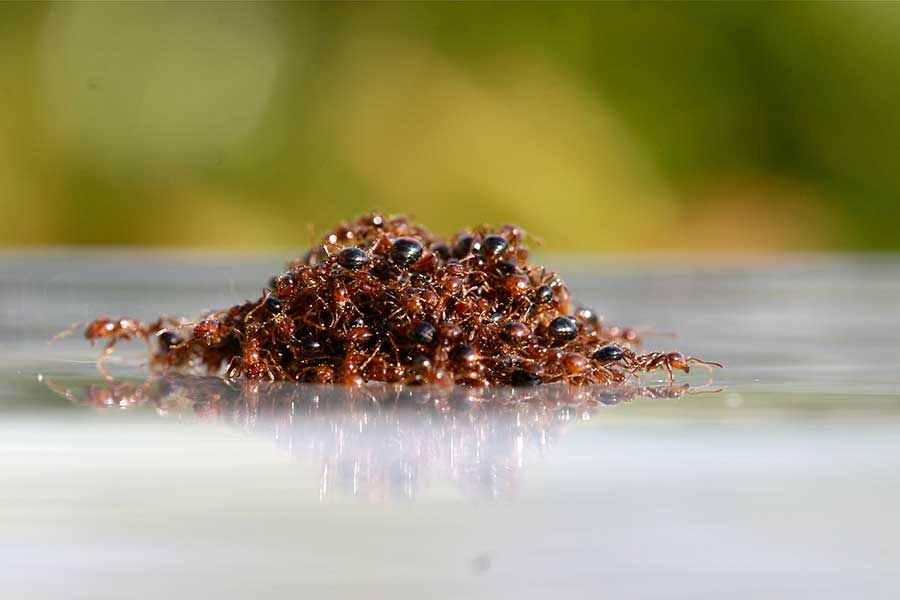 south-caroline-ants-flooding