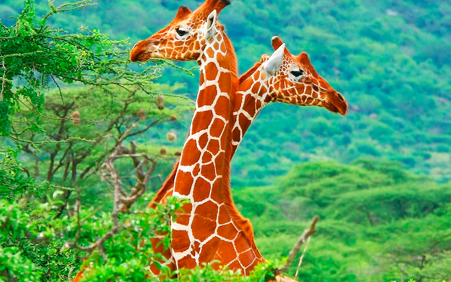 Giraffe-long-neck-evolution