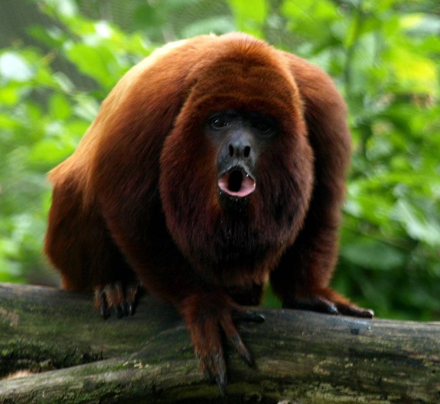 Howler-Monkey