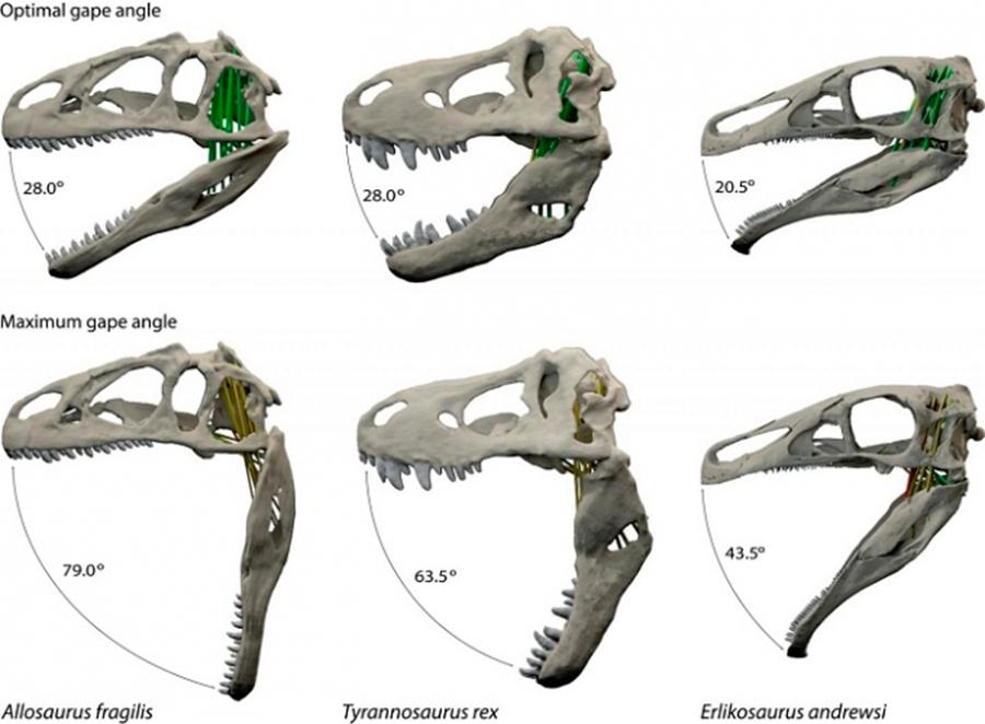 Dinosaurs'-jaws