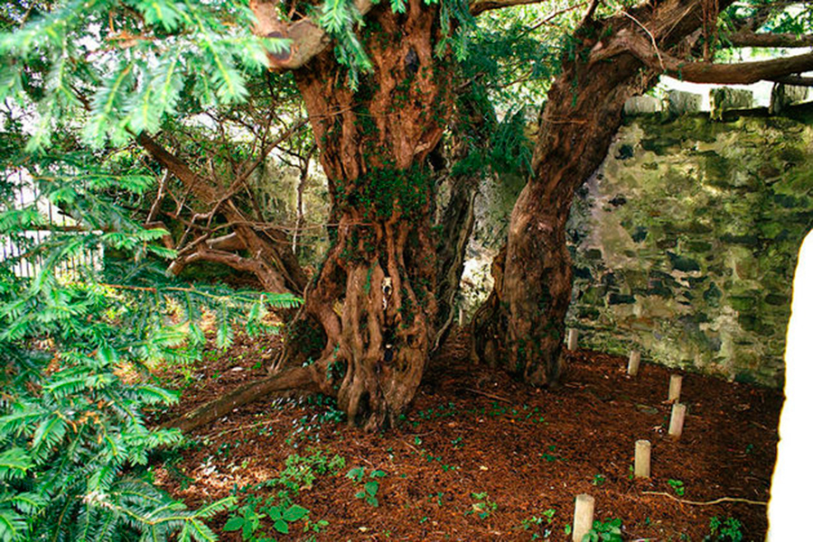 oldest+trees+of+the+world | Scout.com: The oldest tree ...
