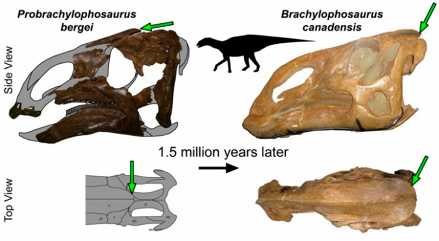 New, Duck-like Dinosaur Had a Crest that Evolutionarily Links Two Species