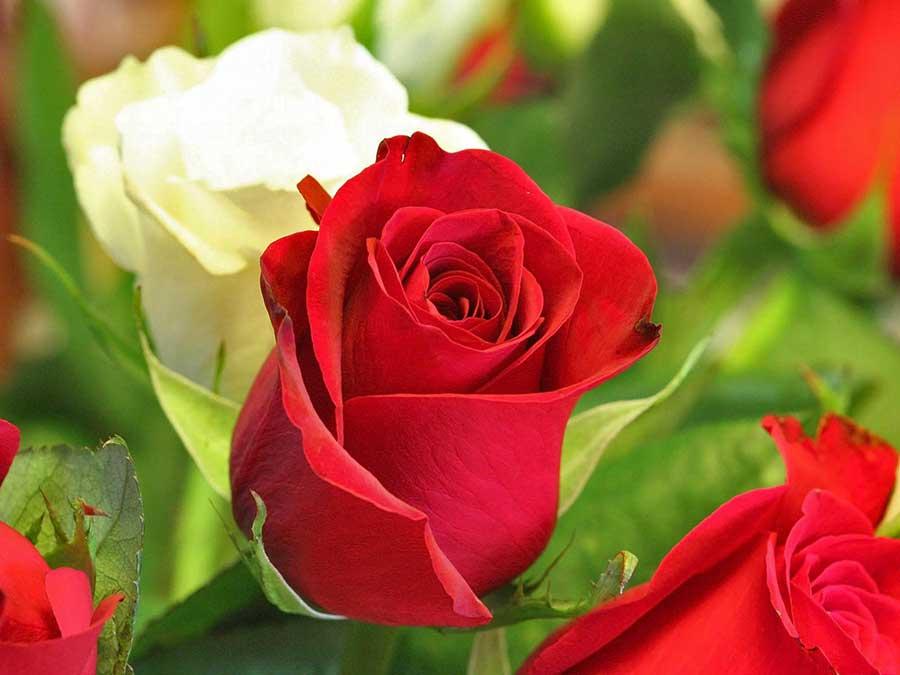 cyborg-roses