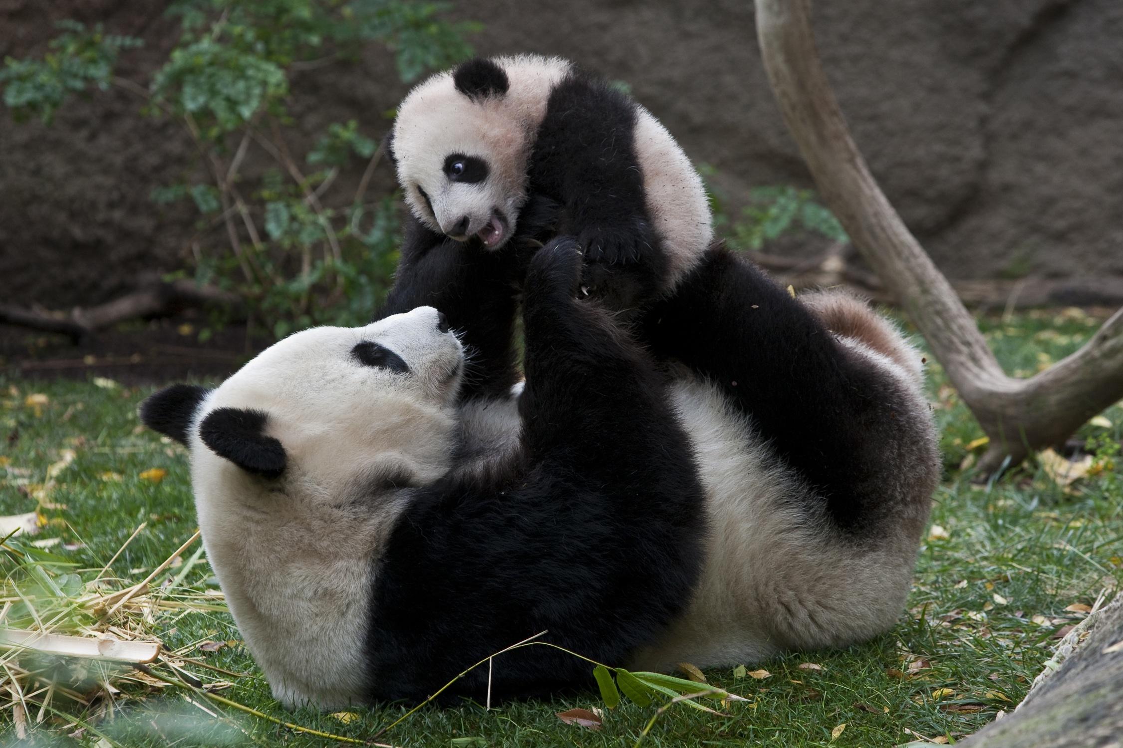 Giant panda mother and cub, Bai Yun and Yun Zi. Photo: A Cute Day/Green Animal World.