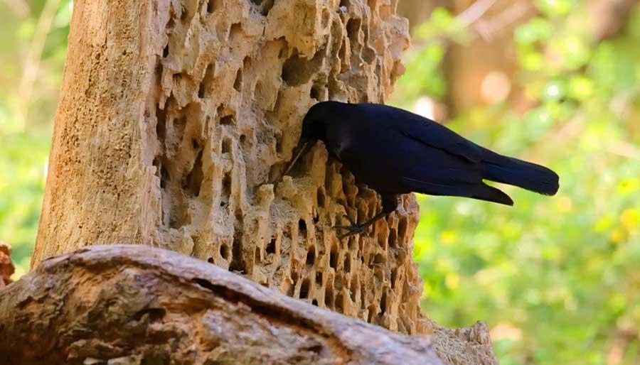 New-Caledonian-Crow