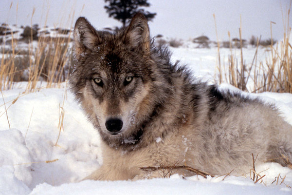 A gray wolf in the wiild. Photo: The Christian Science Monitor/National Park Service/AP
