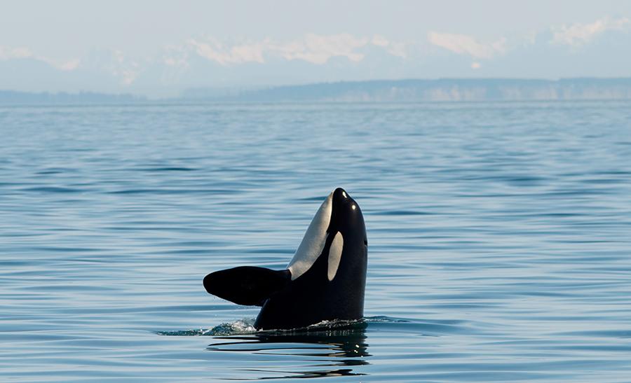 Killer-Whales-Europe