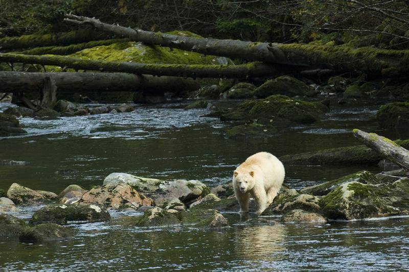 A Bear enters the water in the Great Bear Rainforest in British Columbia, Canada. Credit: GreenPeace
