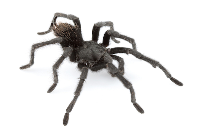 An adult male Johnny Cash tarantula, Aphonopelma johnnycashi, from California. Credit: Discovery News/DR. CHRIS A. HAMILTON