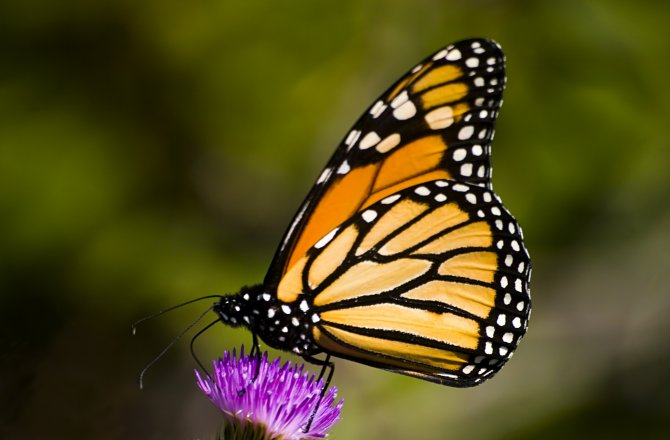 A monarch touches down in the ecosystem of this purple thistle flower. Source: Discovery News/ISTOCKPHOTO/THINKSTOCK