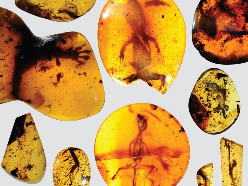 These ancient amber fossils from Burma in Southeast Asia help complete the patchy record of lizard evolution. Credit: Smithsonian/David Grimaldi