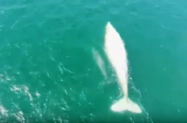 """The albino gray whale """"Gallon of Milk"""" makes a rare appearance during an annual whale census off the Pacific coast of Mexico. The majestic creature appeared with a gray calf that apparently did not inherit her albino condition. Photo: Rob Green/YouTube"""