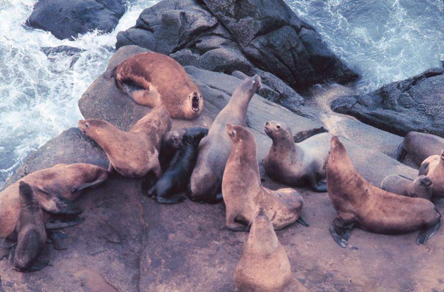 Sea-lion-pop-decline