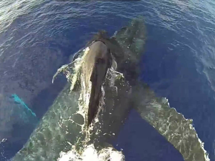A new video released by the NOAA shows a rather strange behavior among humpback whales. Photo credit: Vimeo / Business Insider