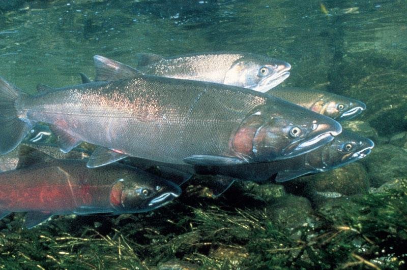 Klamath Basin Chinook and Coho Salmon. Photo: watereducation.org