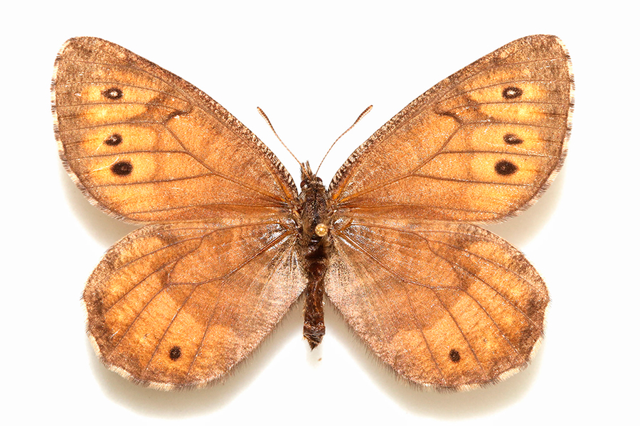 Alaska-Butterfly