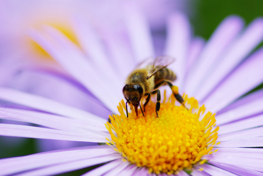 The preservation of honeybees holds a great significance to the humans' welfare as well as the balance of nature itself. Photo credit: Joyce Rey