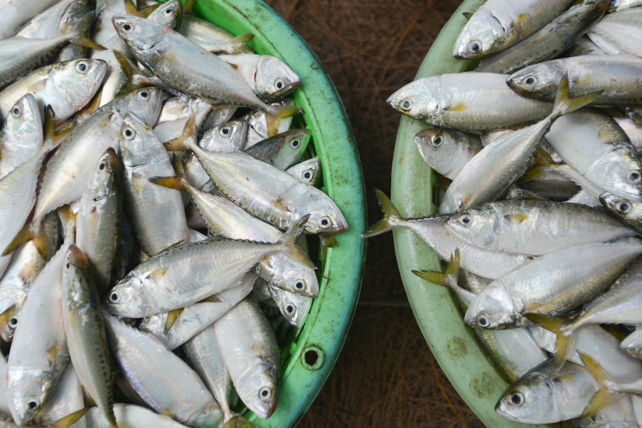 Fishes and fishermen will be on a win-win situation according to new studies published on Monday, revealing a way to catch more fishes without decreasing the number of fishes worldwide. Photo credit: Inhabitat