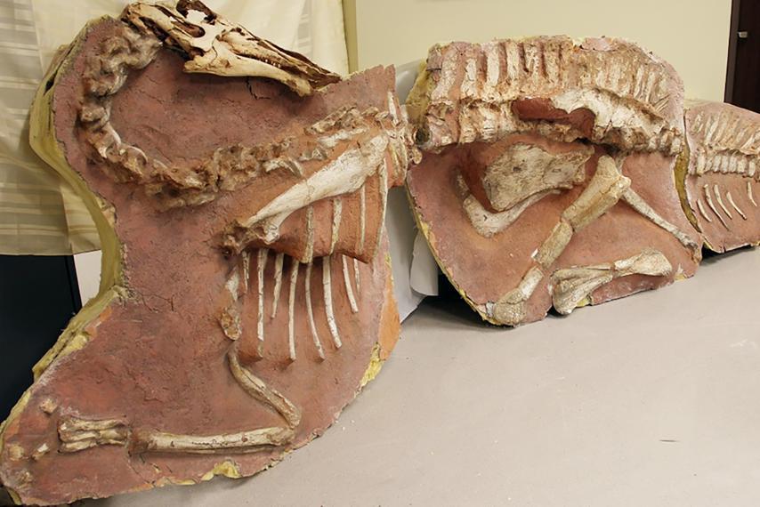 dinosaur-skeleton-mongolia