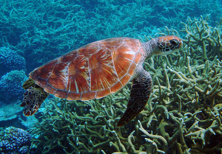 Green_turtle_Wildlife
