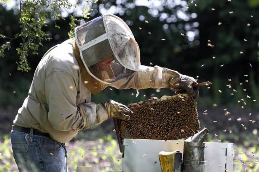 Beekeepers in Tulsa have been recently taking on social media to post photos of their early swarms this year. Photo credit: Chicago Tribune
