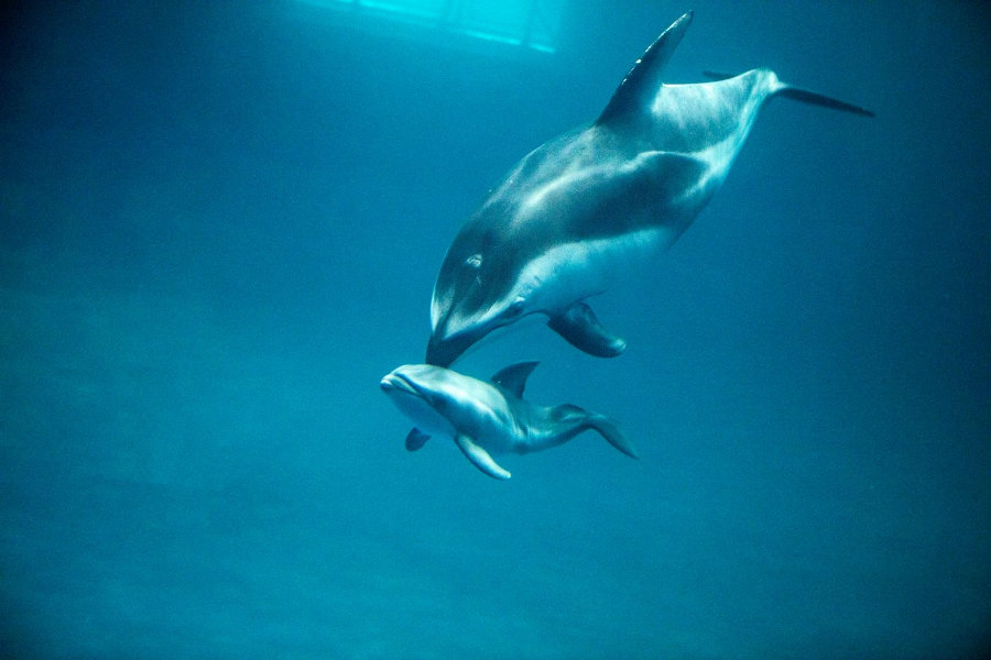 Katrl, the dolphin, gave birth to a 25-pound calf at the Shedd Aquarium in Chicago. Photo credit: Shedd Aquarium / Chicago Tonight