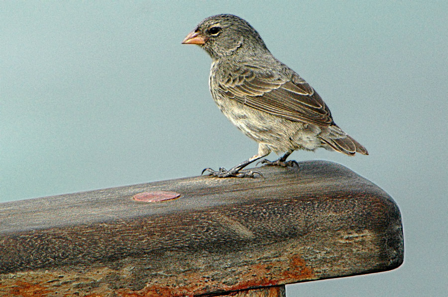 Smaller beak in Darwin's finches Could be due to HMGA2 Gene
