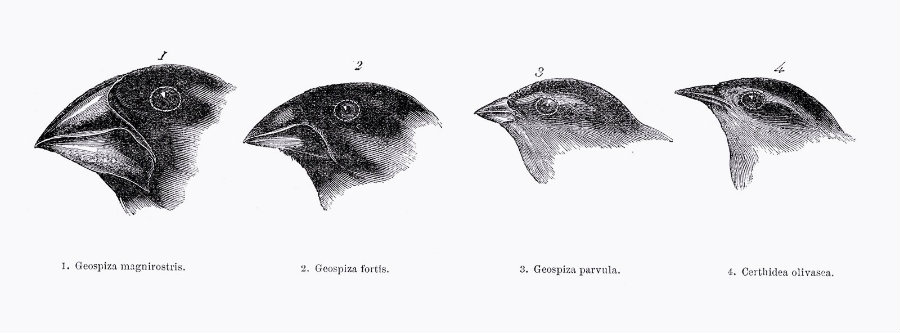 Darwin's Finches evolutionary changes