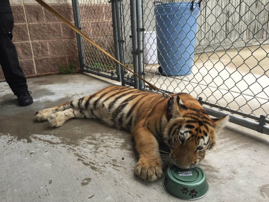 A pet tiger caused an uproar in Conroe, just 40 miles north of Houston. Photo credit: Independent