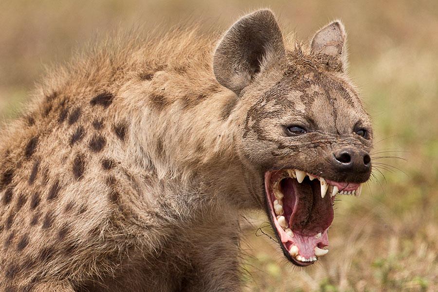Humas-prey-for-hyenas