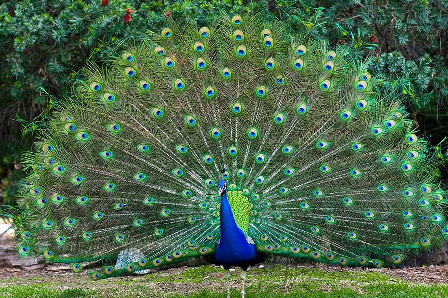 Peacock-Love-Ritual