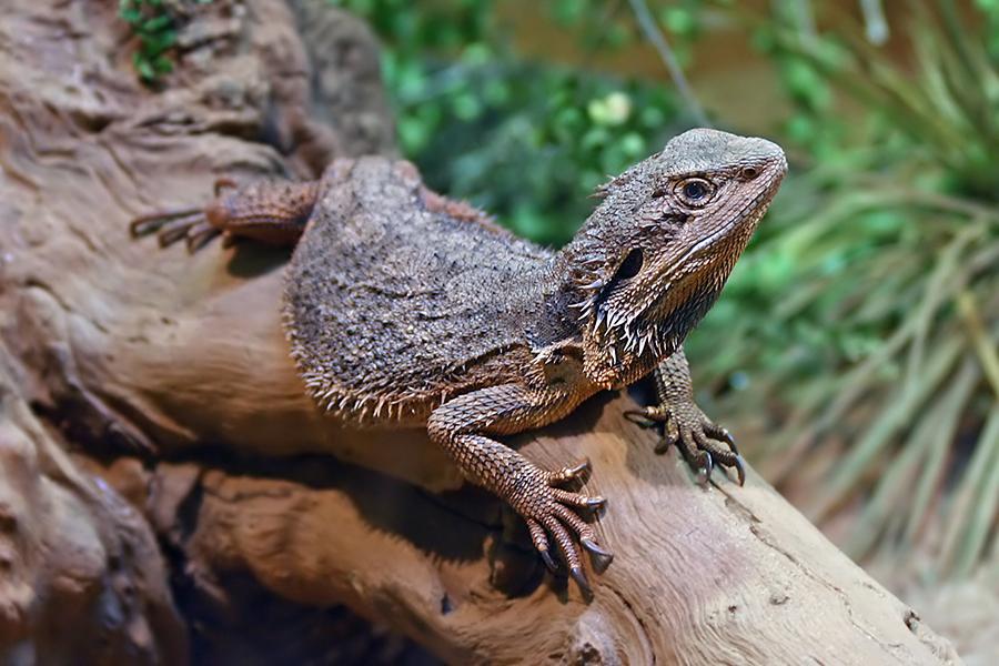 australian-Bearded-dragon