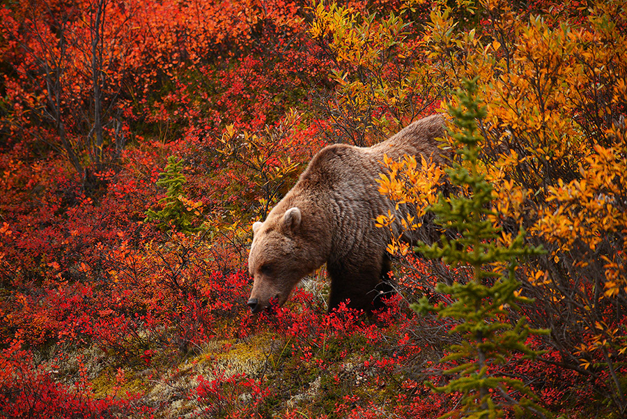 grizzly-bear-not-endangered
