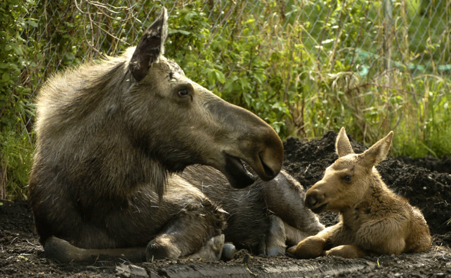 A 75 percent of moose calves of New Hampshire died this year because of ticks. Photo credit: Wallpaper COC
