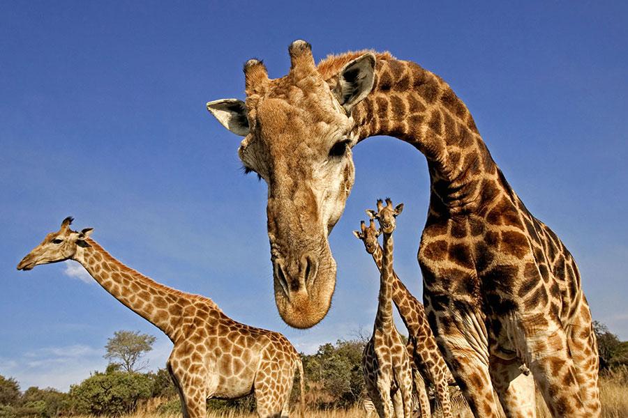 Giraffe's neck
