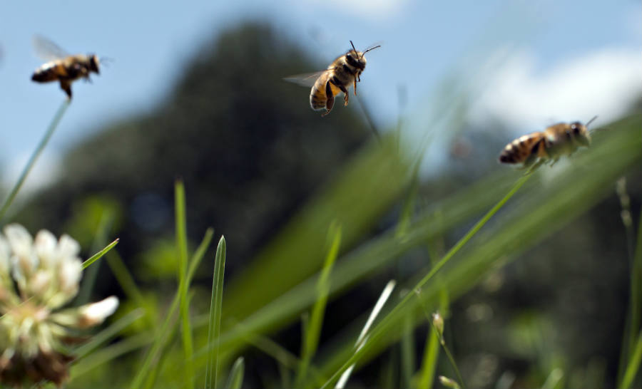 Honey Bee Colonies in the U.S. have experienced a significant drop in comparison to last year's