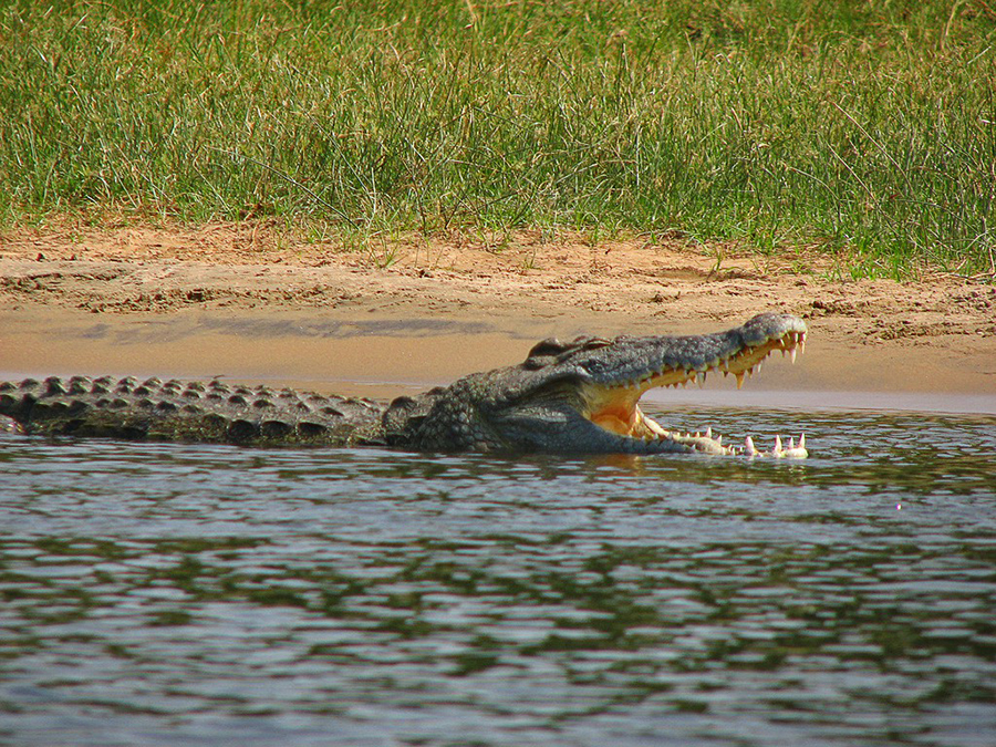 nile-crocodile-Florida