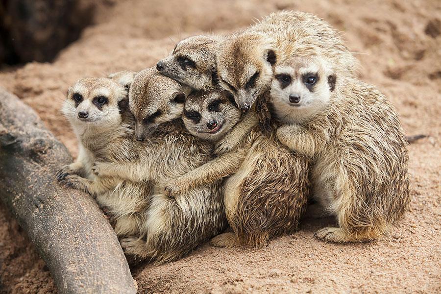 Meerkats' social system