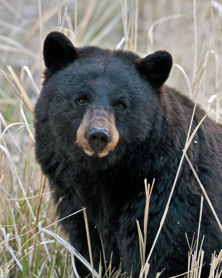 FWC is currently evaluating the alternative to using nonlethal bear management methods